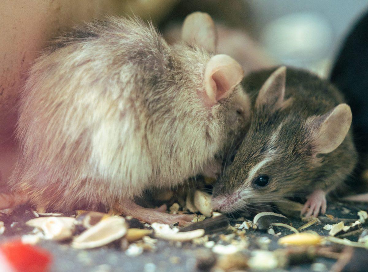 Cómo evitar que los ratones invadan tu casa