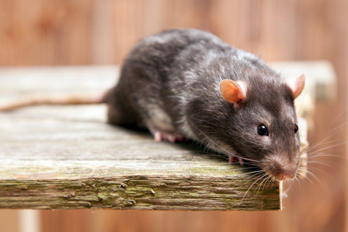 Cómo combatir una plaga de ratas